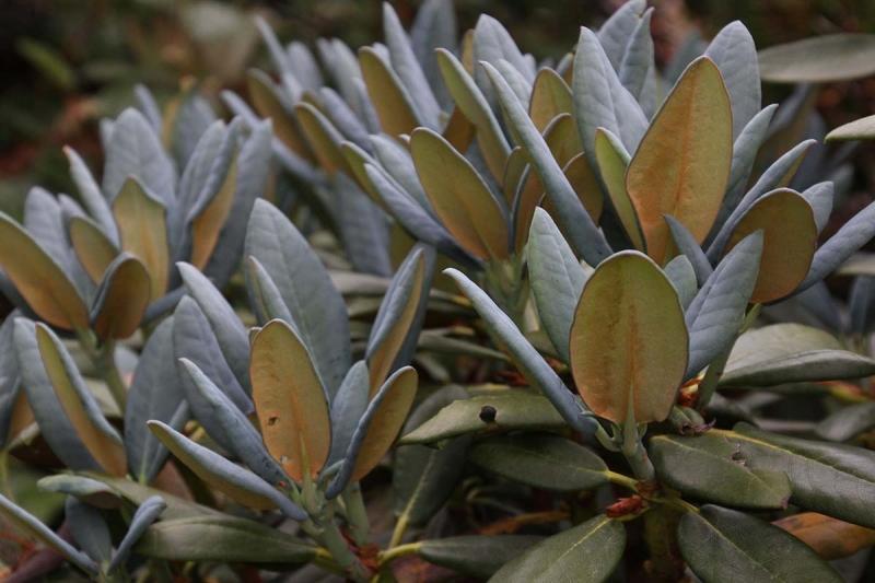 R. campanulatum ssp. aeruginosum