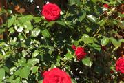 Rose 'Dublin Bay'
