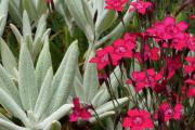 Dianthus deltoides 'Flashing Lights' & 'Golfer'