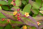 Hypericum 'Albury Purple'