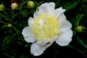 Paeonia lactiflora 'Primavera'