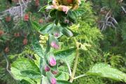 Peloric foxglove