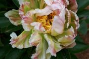 'Green Lotus'