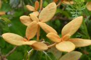 R. flinkii foliage
