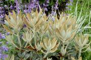 R. pachysanthum 'Buckskin' foliage