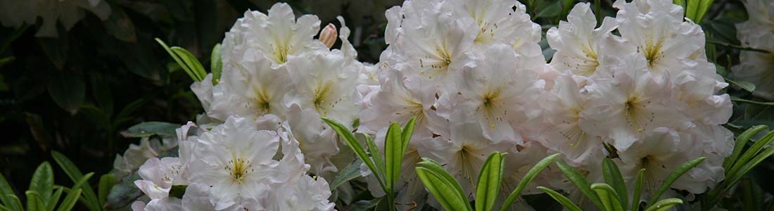 North Island Rhododendron Society