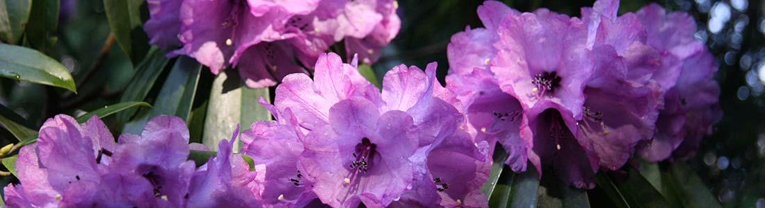North Island Rhododendron Society